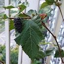 More fresh #mulberries.